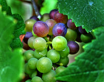 Acini d'uva rossi e verdi Fotografie Stock Libere da Diritti