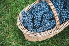 Acini d'uva saporiti prima della raccolta immagine stock libera da diritti
