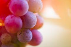 Acini d'uva su un ramo della vite Immagini Stock