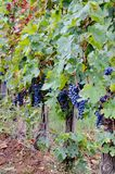 Acini d'uva sulla vite Immagine Stock