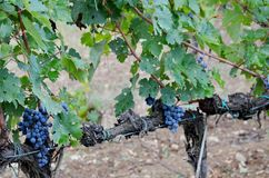 Acini d'uva sulla vite Fotografia Stock
