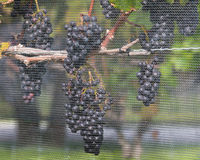 Acini d'uva sulla vite Fotografie Stock
