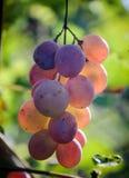 Acini d'uva sulla vite Vigna soleggiata sui precedenti Fotografia Stock Libera da Diritti