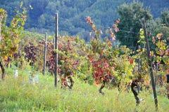 Acini d'uva in un campo Fotografia Stock Libera da Diritti