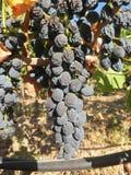 Acino d'uva Fotografia Stock