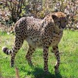 acinonyx geparda jubatus Fotografia Stock