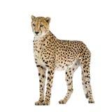 acinonyx geparda jubatus Zdjęcie Royalty Free