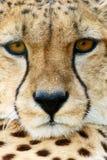 acinonyx geparda jubatus target2055_0_ zdjęcie stock