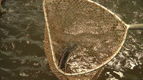 Acipenser gueldenstaedtii Russian diamond sturgeon fish water breeding in the rescue and conservation fauna, fly fishing. Net fish landing and mesh catch stock footage