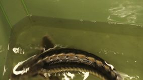 Acipenser gueldenstaedtii Russian diamond sturgeon fish water breeding in the rescue and conservation fauna, protection. Of the nature, gene pool, endangered stock video