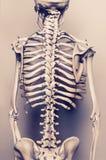 Ack des menschlichen skeleton Modells - gealterter Effekt Lizenzfreie Stockbilder