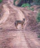 Ackal, среднего размера всеядные млекопитающие рода волка стоковая фотография rf