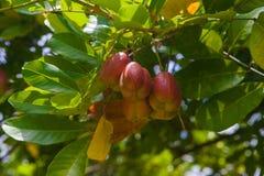 Ackee-Baum Stockfoto