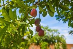 Ackee-Baum Lizenzfreies Stockbild