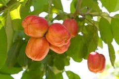Ackee-Frucht auf Baum Lizenzfreie Stockfotografie