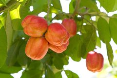 Ackee Fruit On Tree. Unripe ackee fruit growing on this tree in Jamaica is poisonous in this unripened state Royalty Free Stock Photography