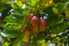 Ackee tree Stock Photo