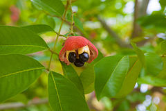 Ackee tree Stock Image