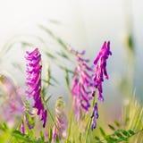 Acker-Stiefmütterchen-Blumen Stockbild