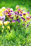 Acker-Stiefmütterchen-Mischung Blumen im Frühjahr Stockfoto