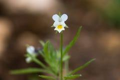 Acker-Stiefmütterchen u. x28; Viola arvensis& x29; Anlage in der Blume Lizenzfreies Stockbild