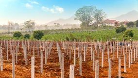 Ackerbau für Drachefrüchte Stockfoto