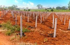 Ackerbau für Drachefrüchte an der Plantage Stockfotos