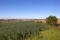 Ackerbohnen im Sommer Lizenzfreies Stockfoto