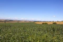 Ackerbohnen im Sommer Stockfoto