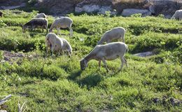 Ackerland-Ansicht von den Schafen, die auf einem grünen Gebiet weiden lassen Lizenzfreies Stockfoto