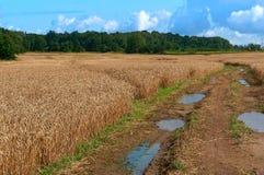 Ackerland, Felder gepflanzt mit Weizen, nasser Schotterweg mit Pfützen auf dem Gebiet Lizenzfreie Stockbilder