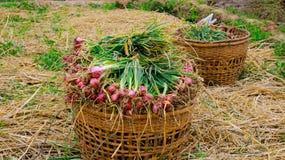 Ackerland gefüllt mit Zwiebeln Stockfoto