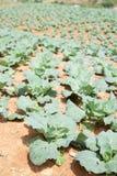 Ackerland gepflanzt mit Kohl Stockfotos