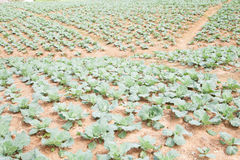 Ackerland gepflanzt mit Kohl Lizenzfreie Stockbilder