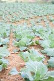 Ackerland gepflanzt mit Kohl Lizenzfreie Stockfotografie