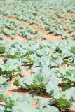 Ackerland gepflanzt mit Kohl Stockfotografie