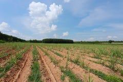 Ackerland ist wachsendes Zuckerrohr Stockbild