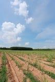 Ackerland ist wachsendes Zuckerrohr Stockbilder