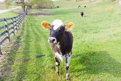 Ackerland - Kuh Stockfoto