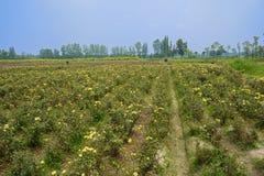 Ackerland kultiviert mit gelben Blumen im sonnigen Sommer Lizenzfreie Stockbilder