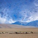 Ackerland in Ladakh, Nord-Indien Stockfotos
