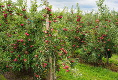 Ackerland mit Apfelbäumen Stockbilder