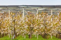 Ackerland mit Blütenkirschbäumen im Frühjahr Lizenzfreies Stockfoto