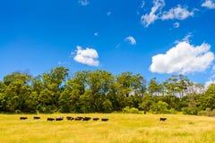 Ackerland mit dem Weiden lassen von Milchkühen Lizenzfreies Stockbild