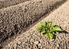 Ackerland mit der ersten Kartoffelpflanze der neuen Jahreszeit Stockfotos