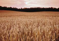 Ackerland mit Getreidegetreide Lizenzfreie Stockfotografie