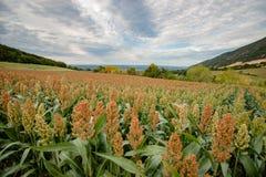 Ackerland mit Hirse erntet auf der Rolling Hills der Rhônes VA Stockbilder