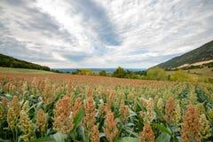 Ackerland mit Hirse erntet auf der Rolling Hills der Rhônes VA Lizenzfreie Stockfotos
