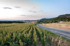 Ackerland mit Hirse erntet auf der Rolling Hills der Rhônes VA Stockfoto