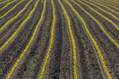 Ackerland mit jungen Maissprösslingen Lizenzfreie Stockfotos